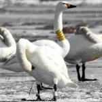 Rūšis: Mažoji gulbė. Žiedas: 21X. Data: 2011-03-27. Vieta: Stankiškiai. Nuotraukos autorius: Gražulevičius G.