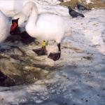 Rūšis: Gulbė nebylė. Žiedas: PLG/ AS9709. Data: 2006-01-14. Nuotraukos autorius: Petraškienė A.