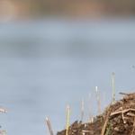 Rūšis: Jūrinis erelis. Nuotraukos autorius - Čepulis M