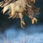 Rūšis: Jūrinis erelis. Nuotraukos autorius - Antanas Razmas