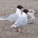 Rūšis: Juodagalvis kiras. Data: 2008-04-09. Vieta: Dumpiai. Nuotraukos autorius: Pareigis V.