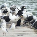Rūšis: Didysis kormoranas. Žiedas: B-CTL. Vieta: Nida. Data: 2012-09-07. Nuotraukos autorius: Pareigis V.