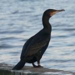 Rūšis: Didysis kormoranas. Vieta: Nida. Data: 2008-12-07. Nuotraukos autorius: Pareigis V.