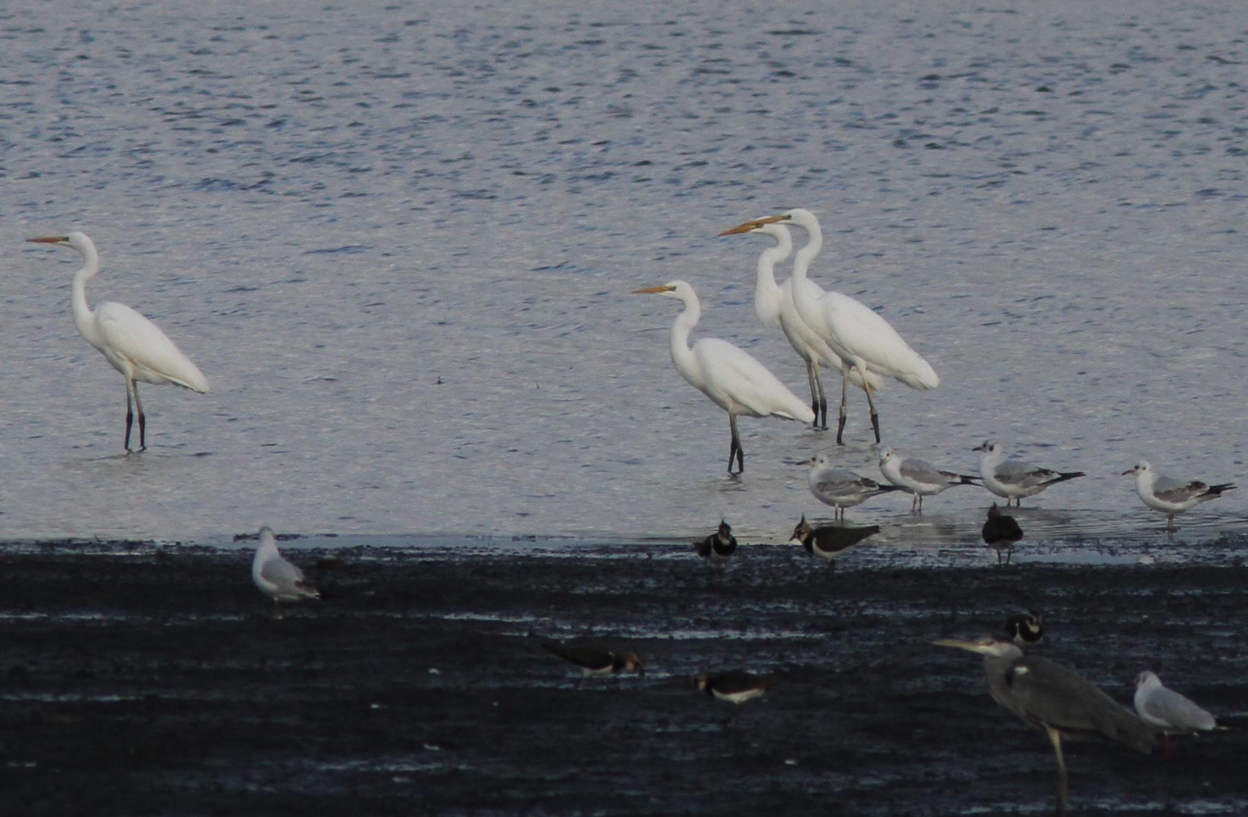 Rūšis: Didysis baltasis garnys. Nuotraukos autorius: Morkūnas J.