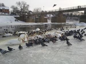 Maitinamos gulbės Kėdainiuose. Boriso Belchevo nuotrauka