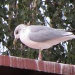 Tas pats paukštis 2016-09-04 taip pat Juodkrantėje. Vytauto Eigirdo nuotrauka.